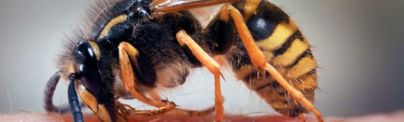 Safe Wasp Eradication Is Needed To Safeguard Our Wellbeing